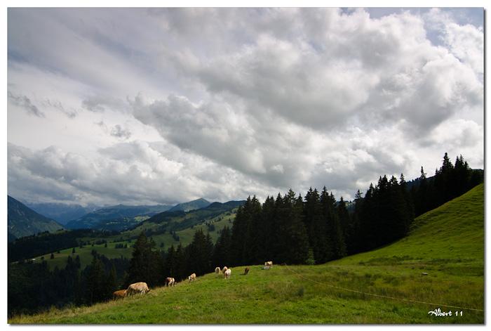 Vaques pasturant