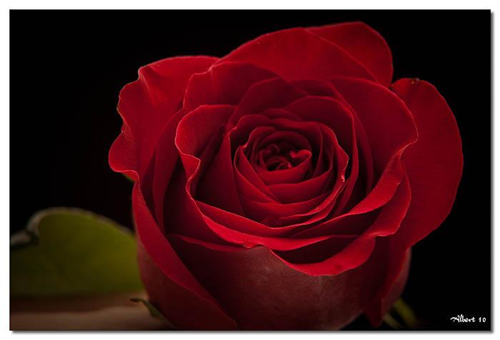 Rosa en negre
