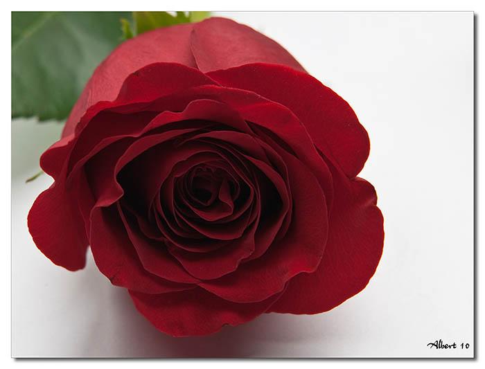 Rosa en blanc